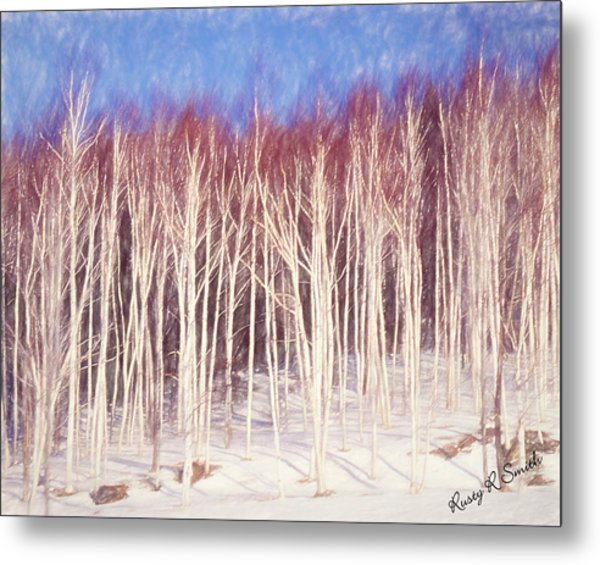 A Stand Of White Birch Trees In Winter. Metal Print
