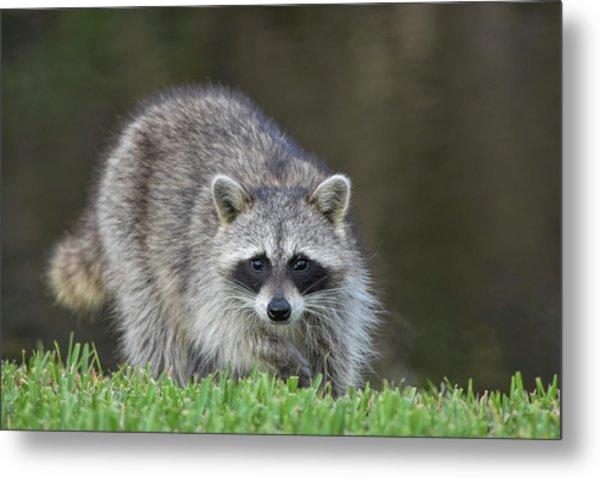 A Surprised Raccoon Metal Print