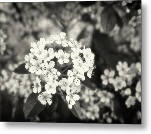 A Thousand Blossoms In Sepia 3x4 Flipped Metal Print