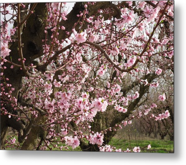 A Touch Of Pink 2 Metal Print by Susanne Awbrey