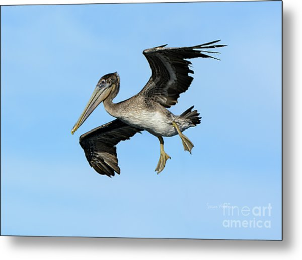A Young Brown Pelican Flying Metal Print