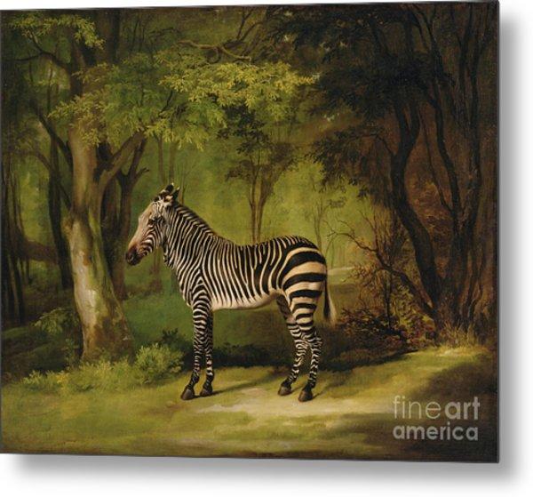 A Zebra Metal Print