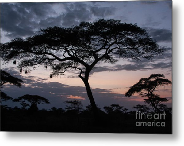 Acacia Trees Sunset Metal Print