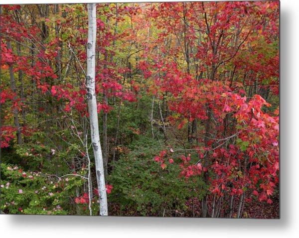 Acadia Fall Colors Metal Print