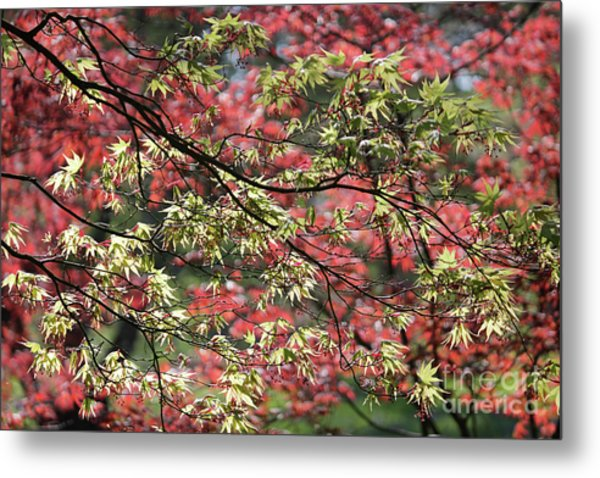 Acer Leaves In Spring Metal Print