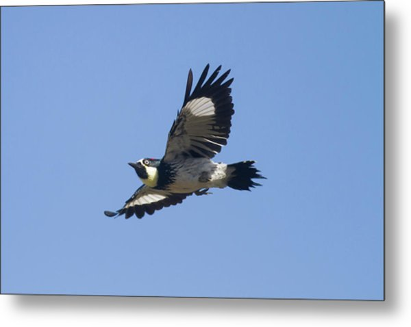 Acorn Woodpecker Metal Print