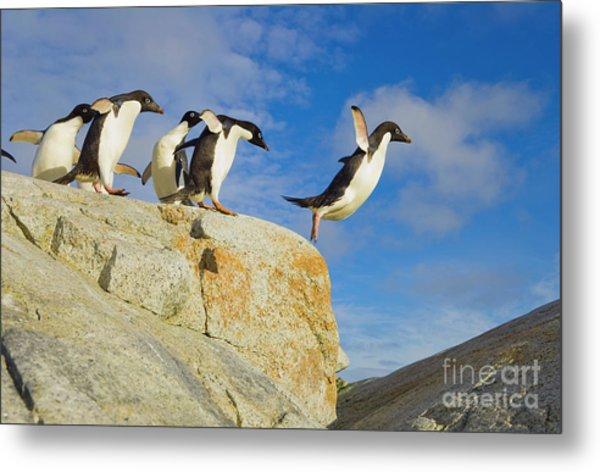 Adelie Penguins Jumping Metal Print