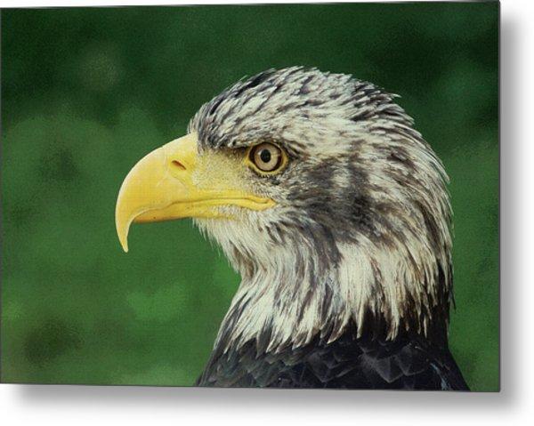 Adler Bald Eagle Metal Print
