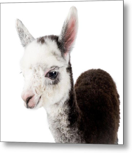Adorable Baby Alpaca Cuteness Metal Print
