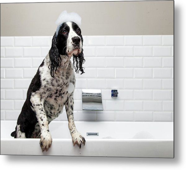 Adorable Springer Spaniel Dog In Tub Metal Print