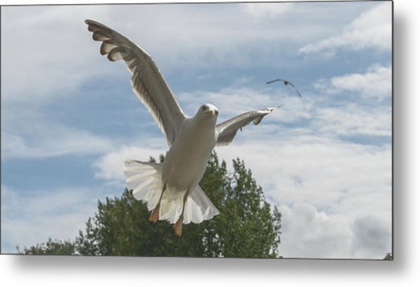 Adult Seagull In Flight Metal Print