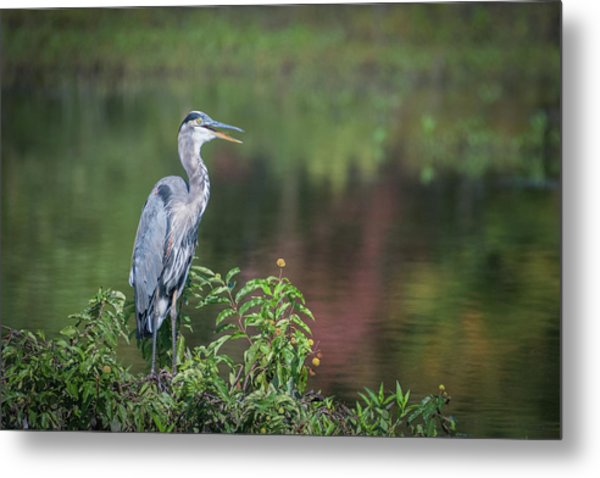 Advice From A Great Blue Heron Metal Print
