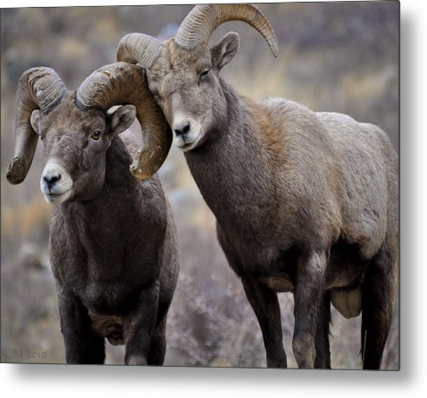 Affectionate Rams Metal Print