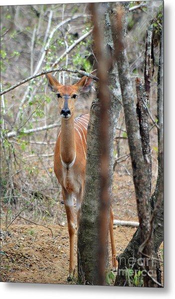 Africa Safari Bushbuck 2 Metal Print