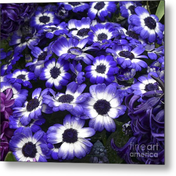African Daisy Purple And White Metal Print