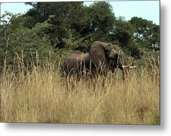 African Elephant In Tall Grass Metal Print