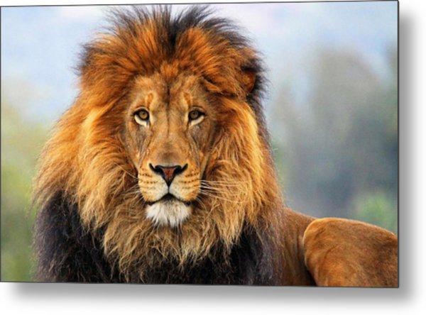 African Lion 1 Metal Print