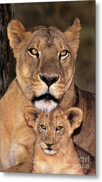 African Lions Parenthood Wildlife Rescue Metal Print