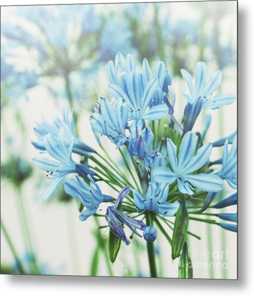 Metal Print featuring the photograph Agapanthus 2 by Cindy Garber Iverson