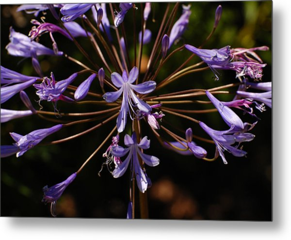 Agapanthus Burst Metal Print by Jean Booth