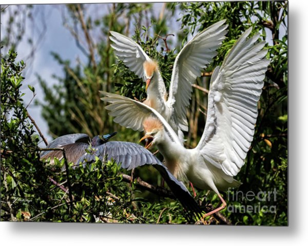 Aggression Between Cattle Egrets And Tricolored Heron Metal Print
