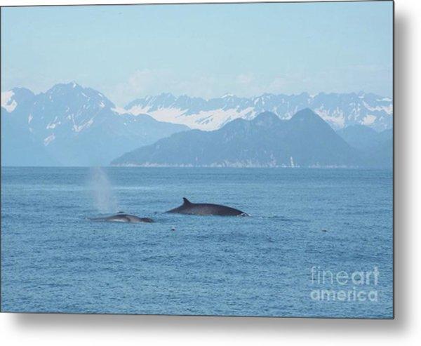 Alaska Finback Whales Metal Print