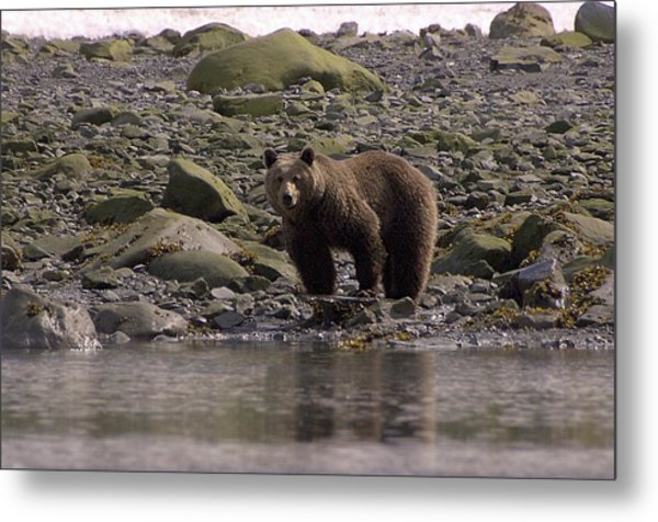 Alaskan Brown Bear Dining On Mollusks Metal Print