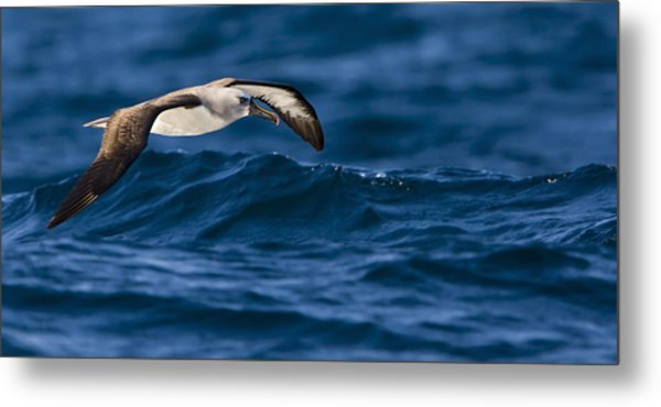 Albatross Of The Deep Blue Metal Print by Basie Van Zyl
