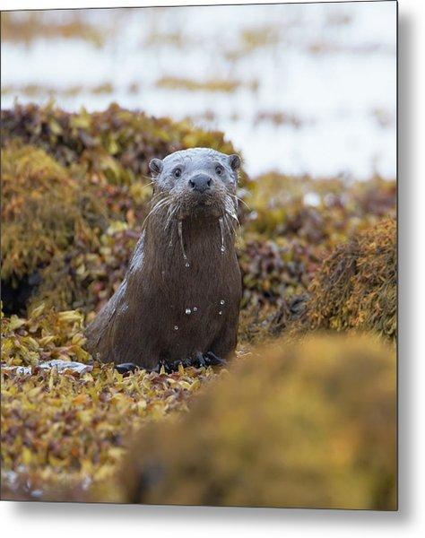 Alert Female Otter Metal Print