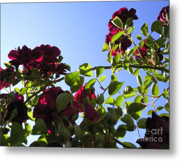 All About Roses And Blue Skies I Metal Print by Daniel Henning