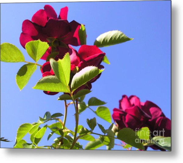 All About Roses And Blue Skies Vi Metal Print by Daniel Henning