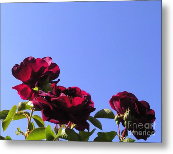 All About Roses And Blue Skies Xi Metal Print by Daniel Henning