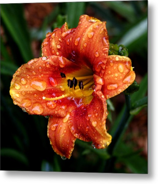 All Wet Lily Metal Print by Paul Anderson