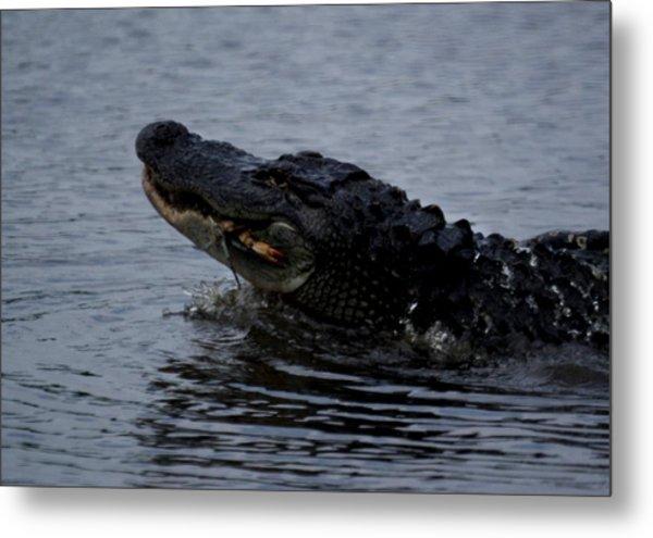Alligator Eating A Crab Metal Print