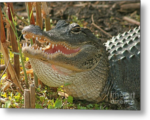 Alligator Showing Its Teeth Metal Print