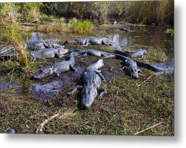 Alligators 280 Metal Print