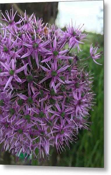 Allium Stars  Metal Print