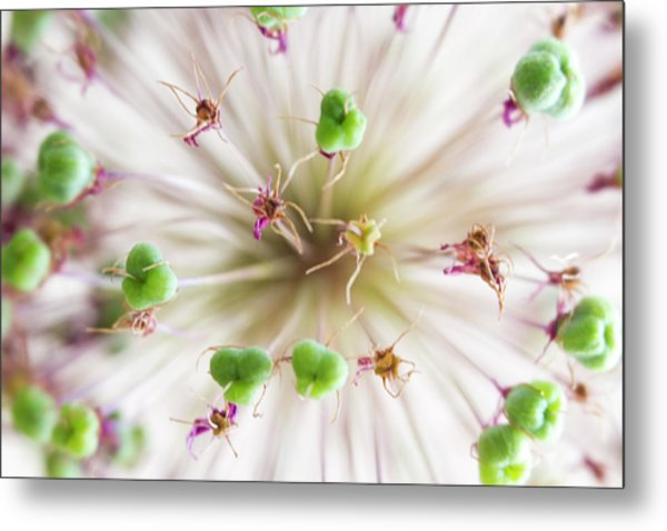 Allium Zoom Metal Print