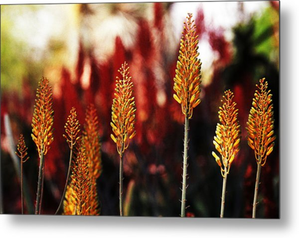 Aloe Blossoms Metal Print by Richard Henne