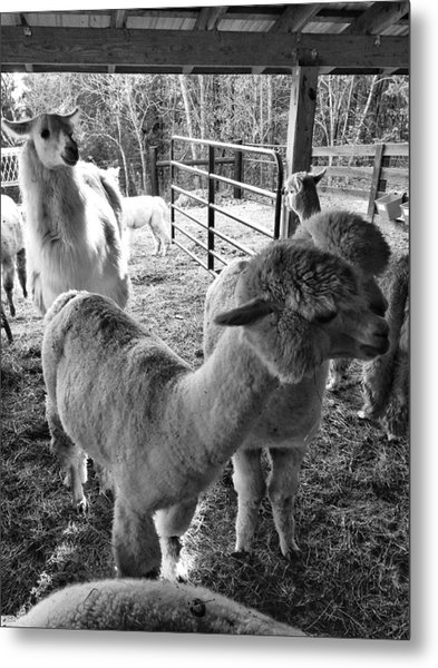 Alpaca Meeting  Metal Print
