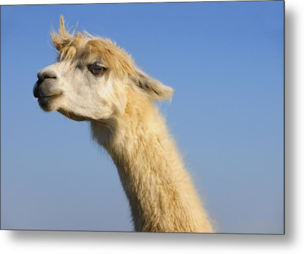 Metal Print featuring the photograph Alpaca by Skip Hunt