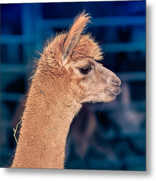 Alpaca Wants To Meet You Metal Print