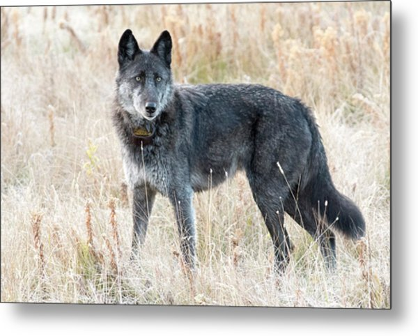 Alpha Female Metal Print