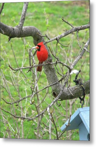 Always With Us -cardinals Metal Print