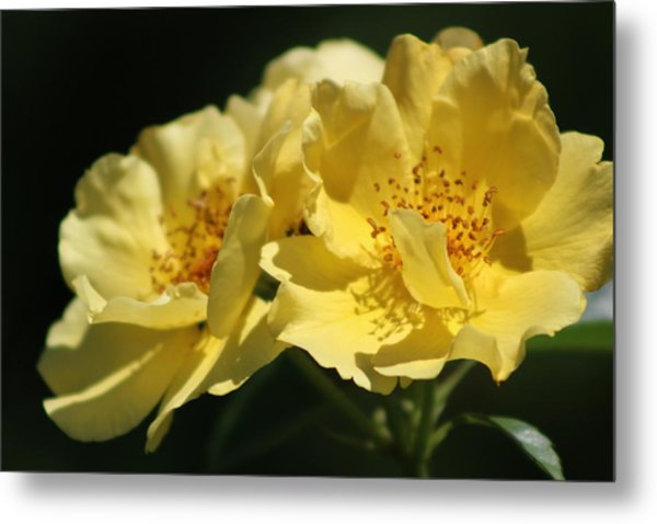 Amber Yellow Country Rose Metal Print