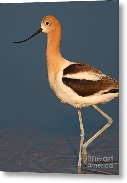American Avocet Standing Tall Metal Print by Max Allen