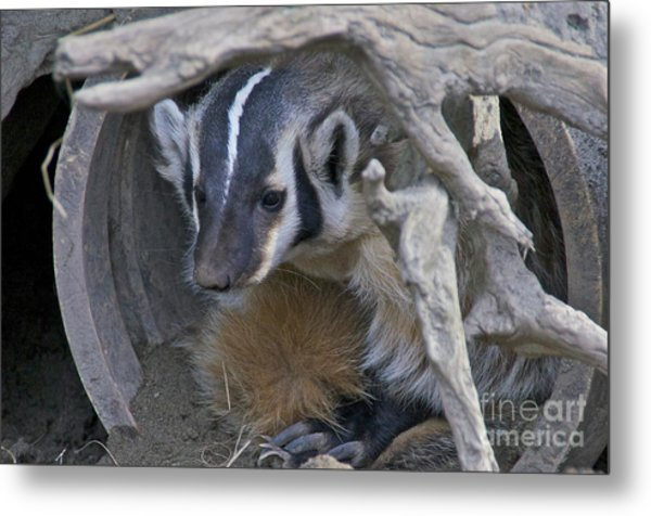 American Badger Habitat Metal Print