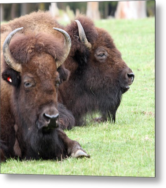 American Bison - Buffalo - 0011 Metal Print