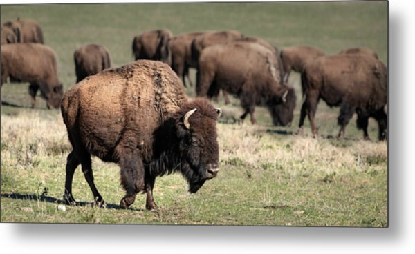 Metal Print featuring the photograph American Bison 5 by James Sage