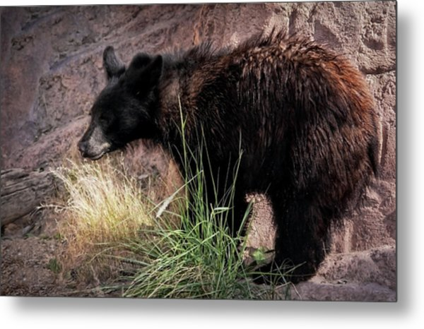 American Black Bear Cub Metal Print